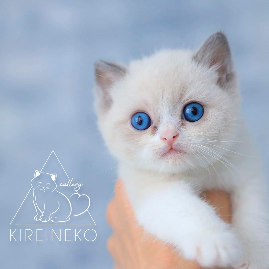 разработка логотипа для питомника британских котов
